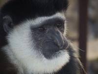 小さな小さな親指のサル[神戸市立王子動物園] - a diary of primates