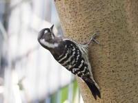 木の実を採餌していたコゲラ - コーヒー党の野鳥と自然パート3