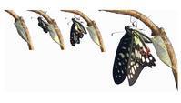令和のミカドアゲハ羽化 - おらんくの自然満喫