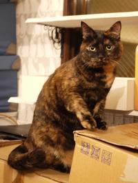 猫のお預かり ぴーこちゃん編。 - ゆきねこ猫家族