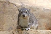 あけましてecoハウチュー~キボシイワハイラックスとデグーの赤ちゃん(埼玉県こども動物自然公園) - 続々・動物園ありマス。
