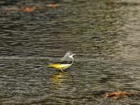 謹賀新年鉢伏山キセキレイ - 不定期更新 彩都付近の自然観察日記