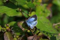謹賀新年ヤクシマルリシジミ  青♀ - Lycaenidaeの蝶鳥撮影日記