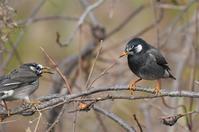 ムクドリ - 阪南カワセミ【野鳥と自然の物語】