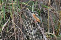 お正月のカワセミ - 阪南カワセミ【野鳥と自然の物語】