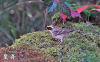 好きな冬鳥です、オスがメスを威嚇して、餌をオスのみで食べてます。誠 - 皇 昇