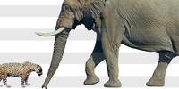 アフリカゾウvsジャガー - アニマル情報202X