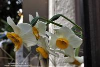 水仙や椿の花を見かけました(^^♪ - 自然のキャンバス