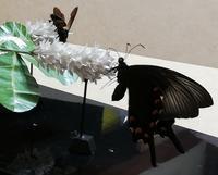 第六作「カラスアゲハ・クマバチ/イボタノキの花」完成 - むしジオラマ -ほか自分流園芸、自分流工作など-