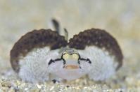 オキナワハゼ属の1種 - 沖縄 ダイビング 水中写真 フォトギャラリー