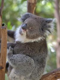 メルボルン動物園のコアラ、二人 - bonsoir
