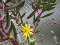 「ルビーネックレス」の花 - あるまじろの庭