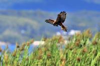チュウヒ - 野鳥鳴く自然風景