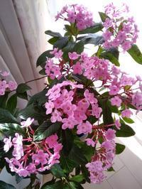 新年最初の花 - 毎日がばら色