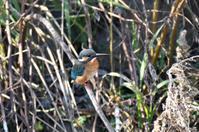 カワセミ・・♀ - 阪南カワセミ【野鳥と自然の物語】