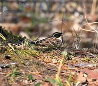 ミヤマホオジロ雄雌他 - 打出頑爺の鳥探し