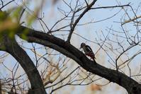 キツツキの仲間:アカゲラ、アオゲラ、コゲラ(赤啄木鳥、青啄木鳥、小啄木鳥) - 世話要らずの庭