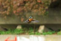 N川のカワセミ、1月4日。 - 小川の野鳥達