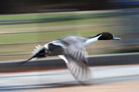 大型野鳥は流し撮りで遊ぶ - スポック艦長のPhoto Diary