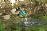 N川のカワセミ、1月5日午前。 - 小川の野鳥達