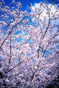季節外れの桜  *3 - M2_pictlog