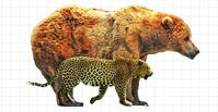 アラスカヒグマとヒョウの大きさの違い - アニマル情報202X