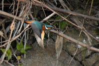 カワセミ・・♀が3羽 - 阪南カワセミ【野鳥と自然の物語】