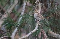 今季は不作?…ミヤマホオジロ - 上州自然散策3