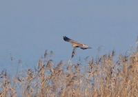 チュウヒⅢ - 野鳥との出会い