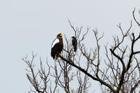オオワシが大きな魚をゲット - 野鳥鳴く自然風景
