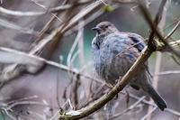 ふっくら羽繕い(カヤクグリ) - 野鳥などの撮影記録