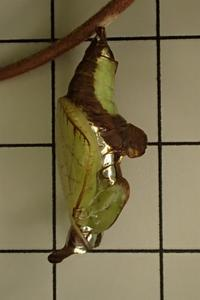イチモンジチョウの蛹 - おらんくの自然満喫