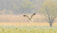 白ぽいチュウヒ - barbersanの野鳥観察