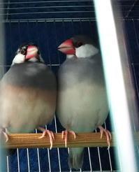 愛しの文鳥メモワール - 癒しの文鳥とメダカと私とお庭