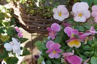 1月の庭 - mille fleur の花とおやつ