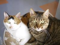 猫のお留守番 専務ちゃん虎太郎くん編。 - ゆきねこ猫家族
