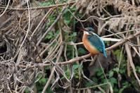 カワセミ雌 - 阪南カワセミ【野鳥と自然の物語】