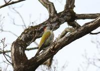 今季あまり見られないアオゲラに、、 - ぶらり探鳥