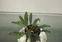 "Homalomena sp. ""Padang"" - PlantsCade -2nd effort"