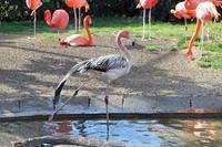 冬の上野動物園~ベニイロフラミンゴの若鳥と不忍池冬景色(January 2019) - 続々・動物園ありマス。