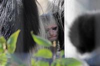 白い天使!アビシニアコロブスの赤ちゃんと超マニアックぬいぐるみ群(上野動物園 January 2019) - 続々・動物園ありマス。