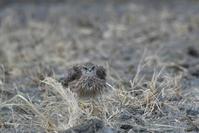 食後のコチョウゲンボウ - 新 鳥さんと遊ぼう