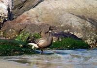 珍しい!コクガン - 野鳥鳴く自然風景
