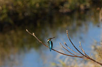カワセミ・・・2羽連続飛翔確認。 - 阪南カワセミ【野鳥と自然の物語】