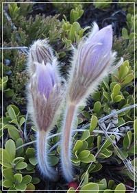 春告げ草「プレーリークロッカス」 - カナディアンロッキーで暮らす