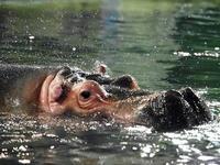 水中のカバ - 動物園放浪記
