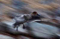 穏やかな冬の一日カモと遊ぶ - スポック艦長のPhoto Diary