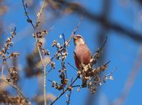 秋楡に、、 - ぶらり探鳥