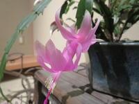 シャコバサボテンの花が咲きました!! - 京都の骨董&ギャラリー「幾一里のブログ」