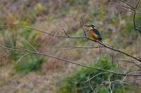 カワセミ - 阪南カワセミ【野鳥と自然の物語】